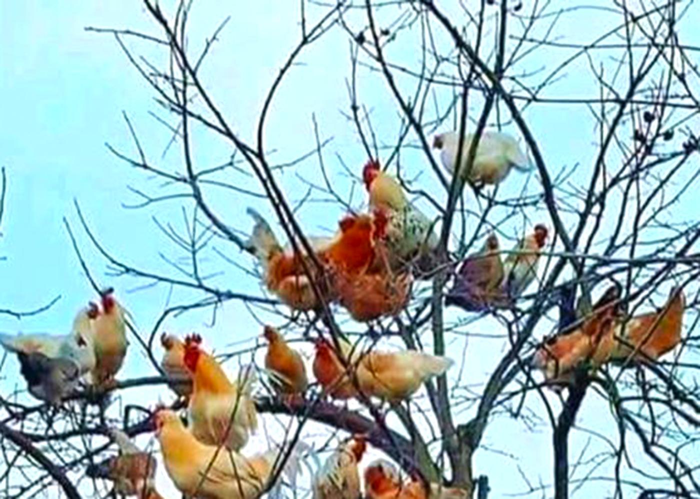 kokoske na drvetu